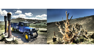 Bodies and Bristlecone pine forest
