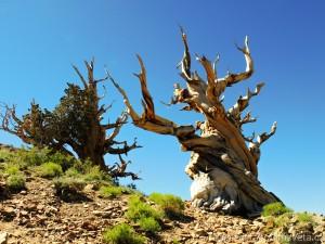 Bristleconepine forest