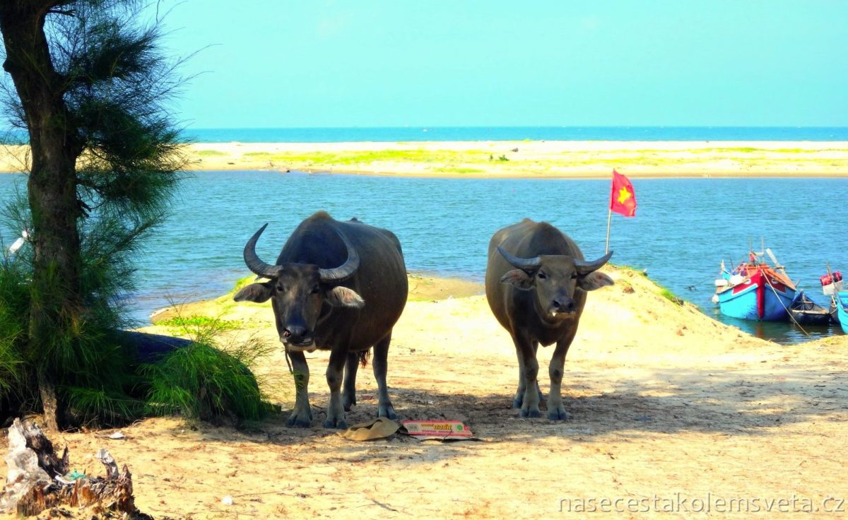 Buffalo on the beach