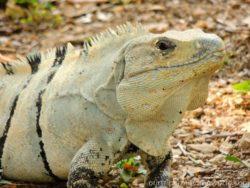 Iguana in Uxmal