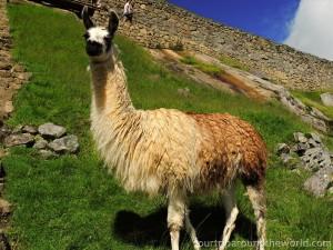 Lama on Machu Picchu
