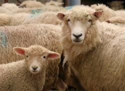 Novozélandské ovce, ovce na Novém Zélandu