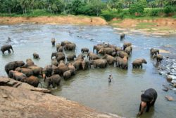 Pinnawala sloní sirotčinec