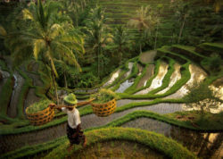 rýžové pole Bali