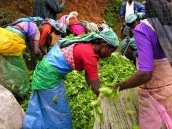 Sběračky čajových lístků - Srí Lanka